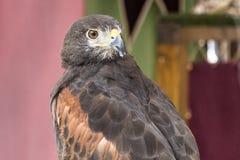 Eagle impérial photos stock