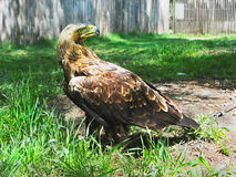 Eagle impérial (heliaca d'Aquila) Photographie stock
