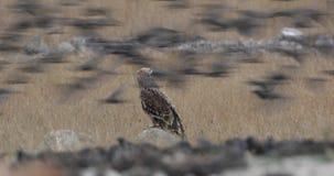 Eagle impérial oriental sur la roche banque de vidéos