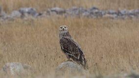 Eagle impérial oriental sur la roche stupéfaite photo libre de droits