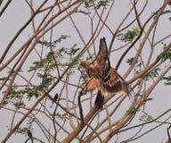 Eagle imperial Foto de archivo