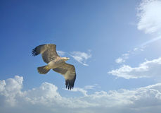 Eagle imperial Fotografía de archivo