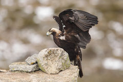 Eagle imperial espanhol imagem de stock