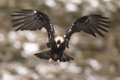 Eagle imperial espanhol imagem de stock royalty free