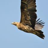 Eagle imperiale Fotografie Stock