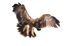 Eagle imperiale Fotografia Stock