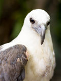 Eagle with injured wing Stock Photography