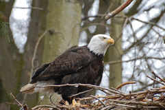 Eagle Intently Watching. American eagle, intently watching, from high in the nest Royalty Free Stock Photo