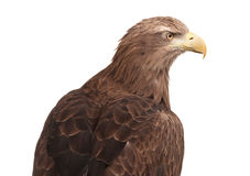 Eagle isolated Stock Image