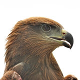 Eagle isolated Royalty Free Stock Photography