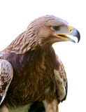 Eagle isolated. Profile of a prey bird Stock Image