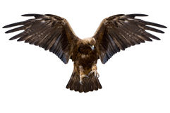Eagle, isolated Stock Photo