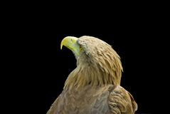 Eagle isolated Stock Images
