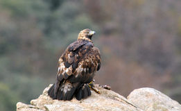 Eagle with its prey observed from the rock. A golden eagle with its prey observed from the rock Royalty Free Stock Photography