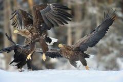 Eagle-jacht Eagles-actie Royalty-vrije Stock Afbeelding