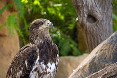 Eagle in Jungle Park #2 Royalty Free Stock Photos
