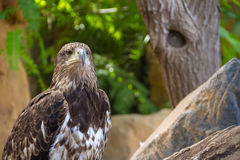 Eagle in Jungle Park Stock Images