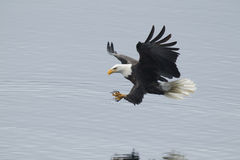 Eagle just above water. Stock Image
