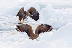 Eagle kamp med fisken Vinterplats med fågel två av rovet Stora örnar, snöhav Flyg Vit-tailed örn, Haliaeetusalbicilla, Arkivbild