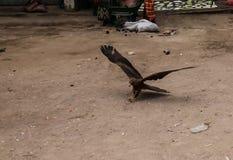 Eagle karmienie, krajowa rozrywka w Harar, Etiopia obraz royalty free