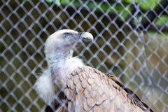 Eagle-Kondor am Zoo Lizenzfreie Stockfotografie