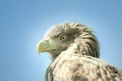 Eagle-Kopf auf einer Hintergrundnahaufnahme des blauen Himmels Lizenzfreie Stockfotografie