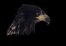 Eagle-Kopf lokalisiert auf dem schwarzen Porträt, das unten schaut Stockfotos