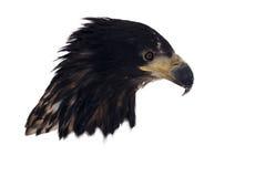 Eagle-Kopf lokalisiert auf dem weißen Porträt, das unten schaut Stockbilder