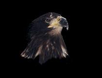 Eagle-Kopf lokalisiert auf schwarzem Porträt Lizenzfreies Stockfoto