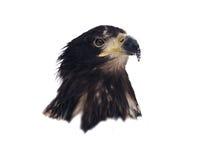 Eagle-Kopf lokalisiert auf weißem Porträt Stockfotografie