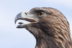 Eagle-Kopf und -himmel Lizenzfreie Stockfotografie