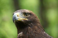 Eagle-Kopfabschluß oben Stockfotos