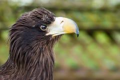 Eagle-Kopfporträt im Profil Lizenzfreie Stockfotografie