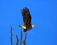 Eagle-lancering van een toppositie Royalty-vrije Stock Fotografie