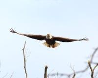 Eagle-lancering in vlucht Stock Fotografie
