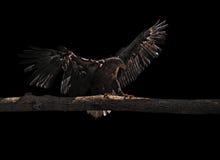 Eagle landet am Holz, das am Schwarzen lokalisiert wird Stockfoto