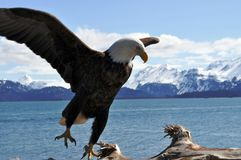 Eagle Landing Royalty Free Stock Photo