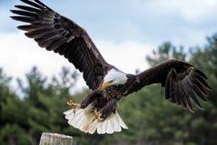 Eagle Landing calvo en posts imagen de archivo