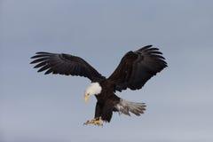 Eagle Landing chauve nord-américain Photo stock