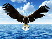 Eagle landing on ocean. The Bald Eagle (Haliaeetus leucocephalus) is a bird of prey found in North America. It is the national bird and symbol of the United Stock Photography