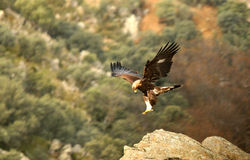 Eagle landing on the rocks of the mountain Stock Image