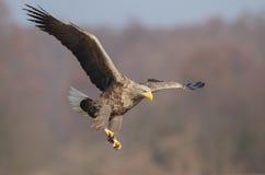 Eagle landing. White-tailed eagle in Poland ready for landing Stock Photos