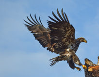 Eagle Landing Wings Spread. A Photo of an American Bald Eagle in Flight  about to land on a perch, with a blue sky background. The eagle is immature and has not Stock Photo