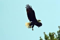 Eagle landning Arkivfoton
