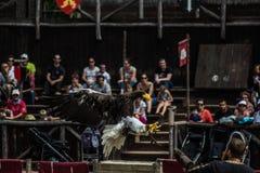 Eagle-Landung auf dem Arm seines Meisters Lizenzfreie Stockbilder