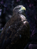 Eagle. Large golden eagle looking off camera with face illuminated by the sun Royalty Free Stock Image