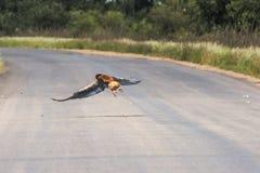 Eagle lata nad ulicą wśrodku Kruger parka, Południowa Afryka Obrazy Royalty Free