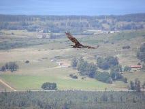 Eagle latająca wysokość zdjęcie stock