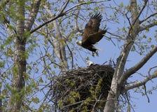 Eagle latanie od gniazdeczka z szturmanem Fotografia Royalty Free