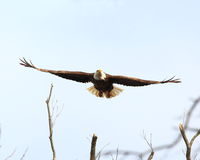 Eagle launching into flight. American Bald Eagle flying with wings spread from a perch in a tree near a nest  along the banks of the Mississippi River in central Stock Photography